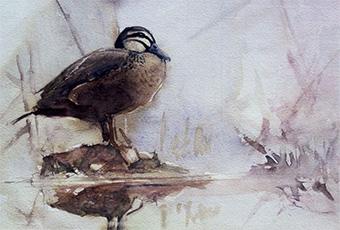 Black duck at side of Meander River, Deloraine