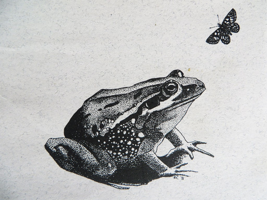 Pen and ink illustration of the threatened green and gold frog.